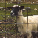 Obama's Dire Sequestration Warning Intercut With Screaming Goat